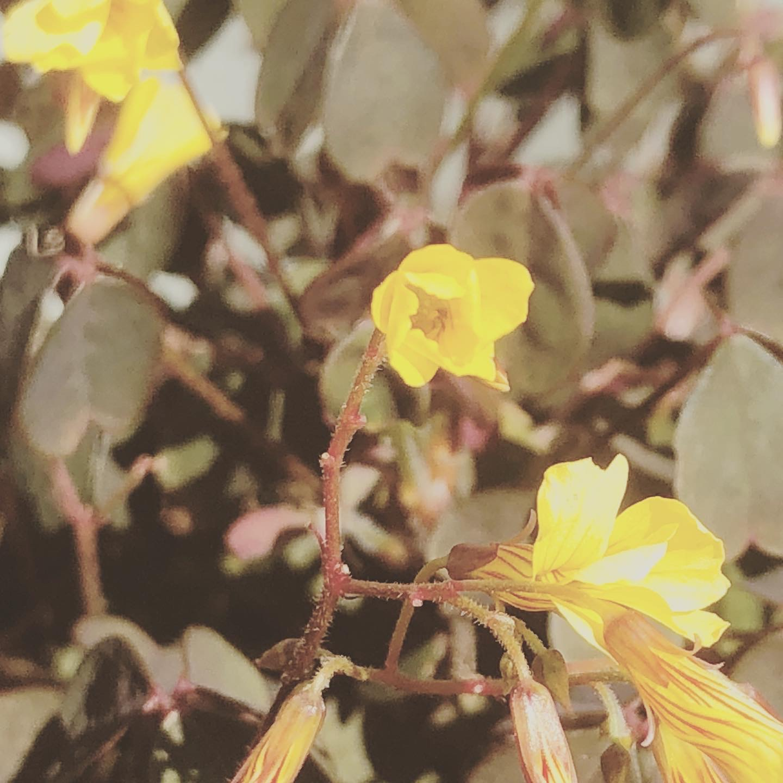 Skovsyre - Koloritten © Kirsten K Kester